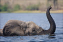 Elephant Swims, Botswana