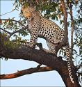 Leopard-in-a-tree, Botswana
