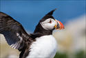 Atlantic Puffin-wings up