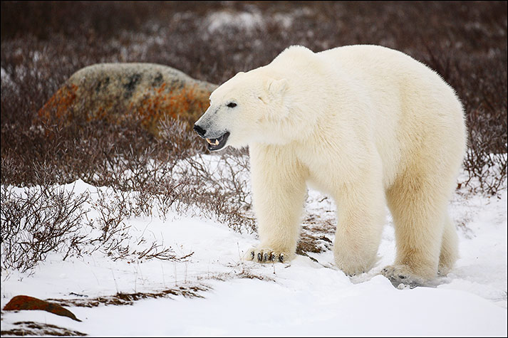 Polar Bear on Tundra